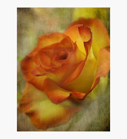 The orange rose Fotodruck