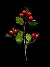 Hawthorn by Barbara Wyeth