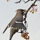 Waxwing and berries by wildlifephoto