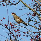 Redwing by dilouise
