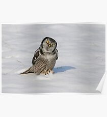 Northern Hawk Owl - Stoney Creek Ontario, Canada Poster