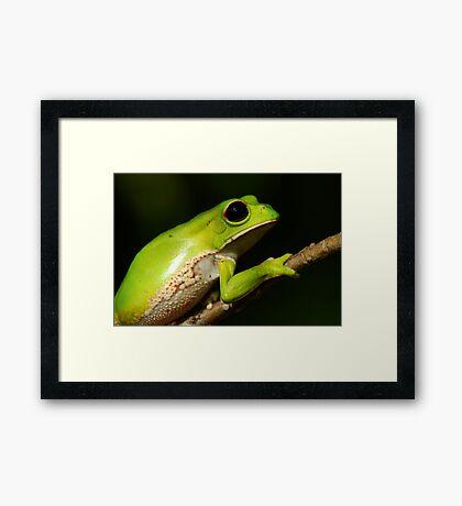 Monkey Tree Frog (Phyllomedusa boliviana) - Bolivia Framed Print