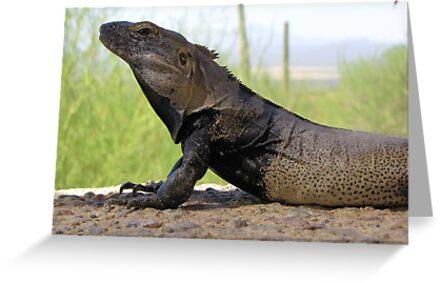 Sonoran Spiny-tailed Iguana ~ Profile by Kimberly Chadwick
