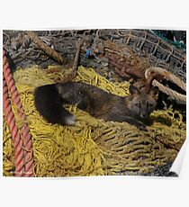 Resting Fox - Dutch Harbor Poster