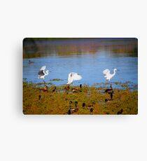 Egrets Landing Canvas Print