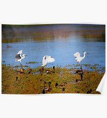 Egrets Landing Poster
