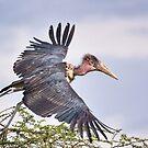 Marabou Stork by Scott Carr