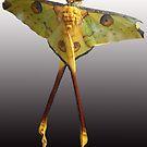 Madagascan Moon Moth by Sheila Smith