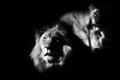 Lions by KatsEyePhoto