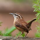 Carolina Wren on an Autumn Day by Bonnie T.  Barry