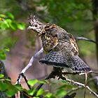 Ruffed Grouse - Bonasa umbellus by amontanaview