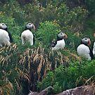Atlantic Puffins - Newfoundland Canada by Raymond J Barlow
