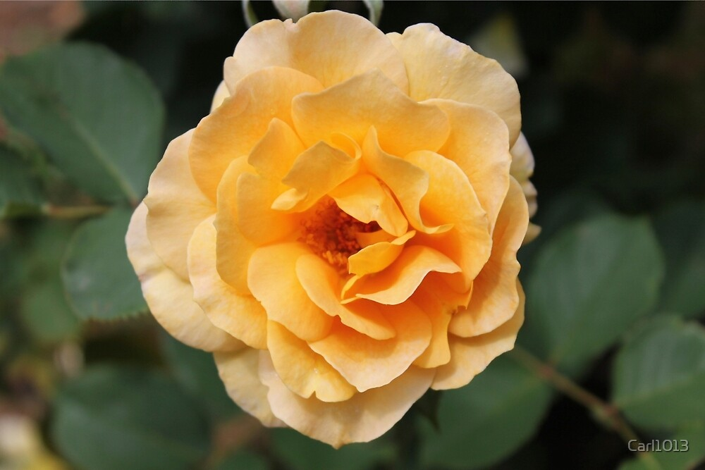 Yellow Southern Rose by Carl1013
