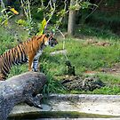 Female Sumatran Tiger cub watches her brothers antics. by Sheila Smith