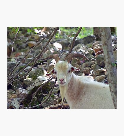 A handsome Billy Goat Photographic Print