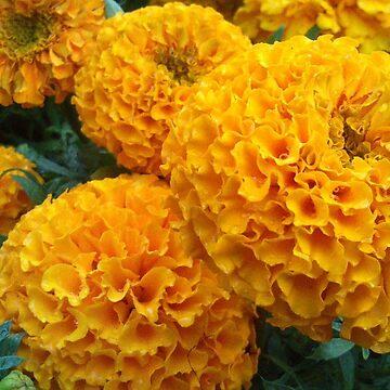 Chrysanthemum maybe? by hattart