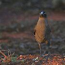 Look me in the Eye !!! Kalgoorlie West Australia by robynart