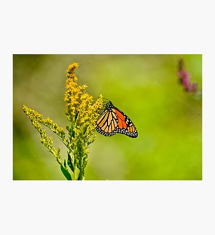 Monarch Butterfly - 42 Photographic Print