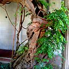 75 Year Old Chinese Wisteria by Jane Neill-Hancock