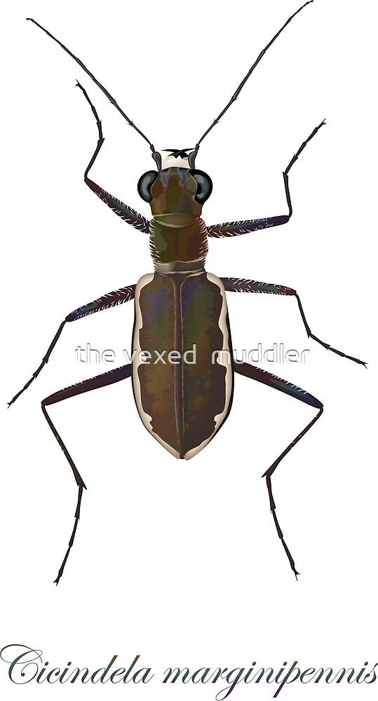 Cobblestone tiger beetle, Cicindela marginipennis by the vexed  muddler