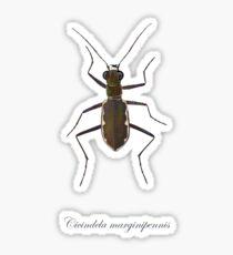 Cobblestone tiger beetle, Cicindela marginipennis Glossy Sticker