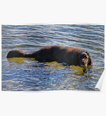 'Walter the Water Dog' Poster