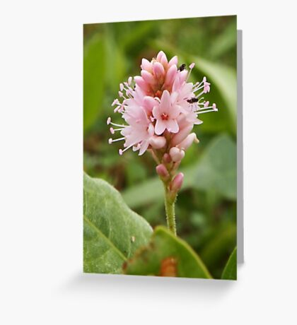 Persicaria Amphibia Greeting Card