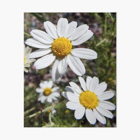 Mayweed wildflower Art Board Print