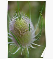 Thistle Bug Poster
