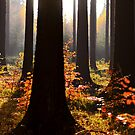 Deep Forest by Marco Heisler
