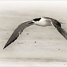 Low flying Tern. by DaveBassett