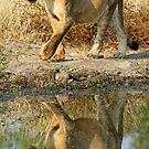 Lioness of the otthawa pride! by Anthony Goldman