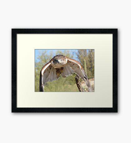 Ferruginous Hawk ~ Spot On! Framed Print