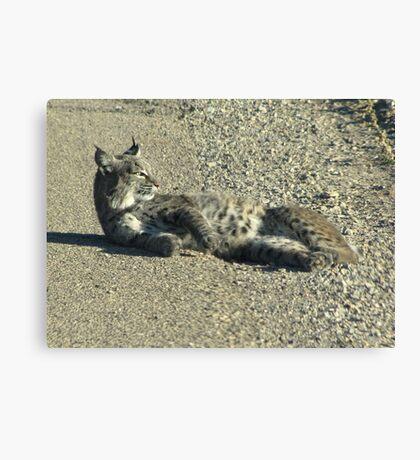 Bobcat ~ Non-captive Canvas Print