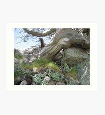 Snowgum, Eucalyptus pauciflora, Kosciuszko National Park Art Print