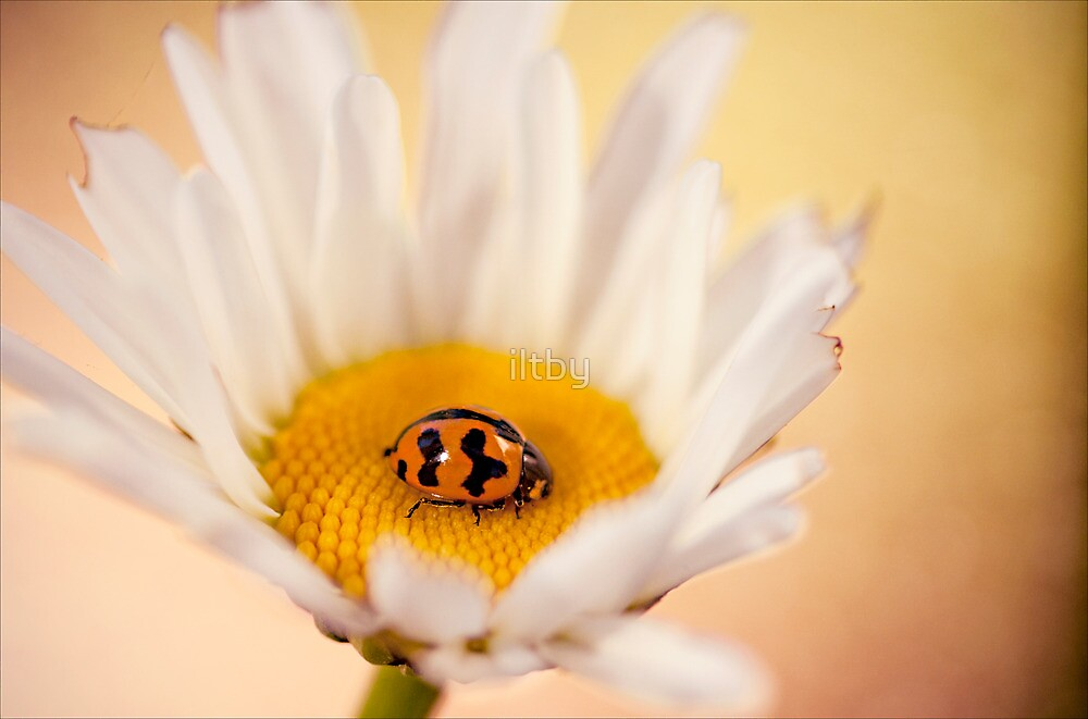 Resting on a Daisy by Josie Eldred