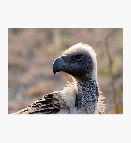 White Backed Vulture Close Up  Photographic Print