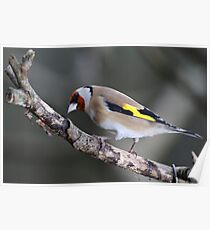 Goldfinch, The Rower, County Kilkenny, Ireland Poster