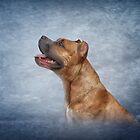 American Staffordshire Terrier  by bonidog