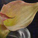Calla lily 1 by Sandra Guzman