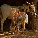 Maternal Pride - Donkeys by ArianaMurphy