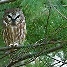 Saw-whet Owl 4 - Ontario, Canada by Raymond J Barlow