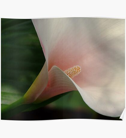 Pink Arum Lily! Poster