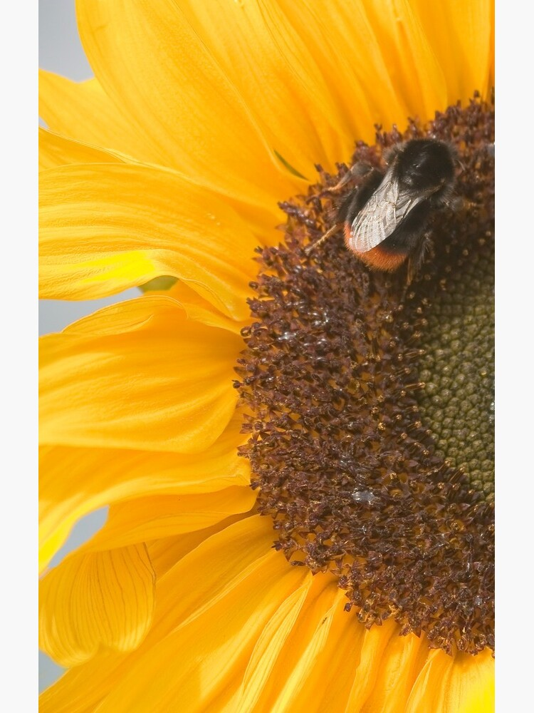 The Sunflower and the Bee by stephenknowles