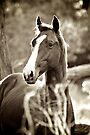 Stallion by Extraordinary Light