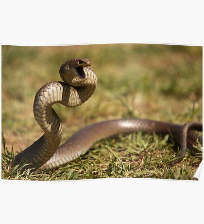 Eastern Brown Snake Poster