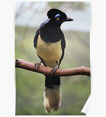 Plush-Crested Jay Poster