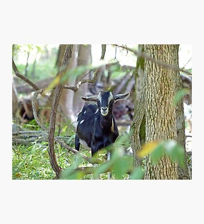 Smiling Goat Photographic Print
