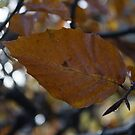 Golden leaf by Steve plowman