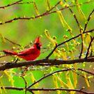 Cardinal on Canvas by Timothy Accardo